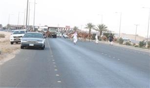 بالصور:(الإبل السائبة ) تهدد المركبات في طريق السيل السريع بالسعودية