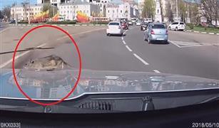 شاهد.. فأر فوق الغطاء الأمامي للسيارة أثناء سيرها.. ماذا فعل قائدها؟