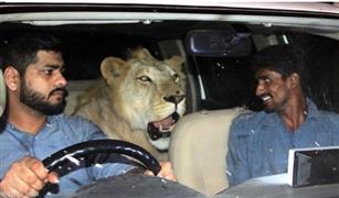 """""""أسد في السيارة"""".. صور جنونية تثير دهشة العالم"""